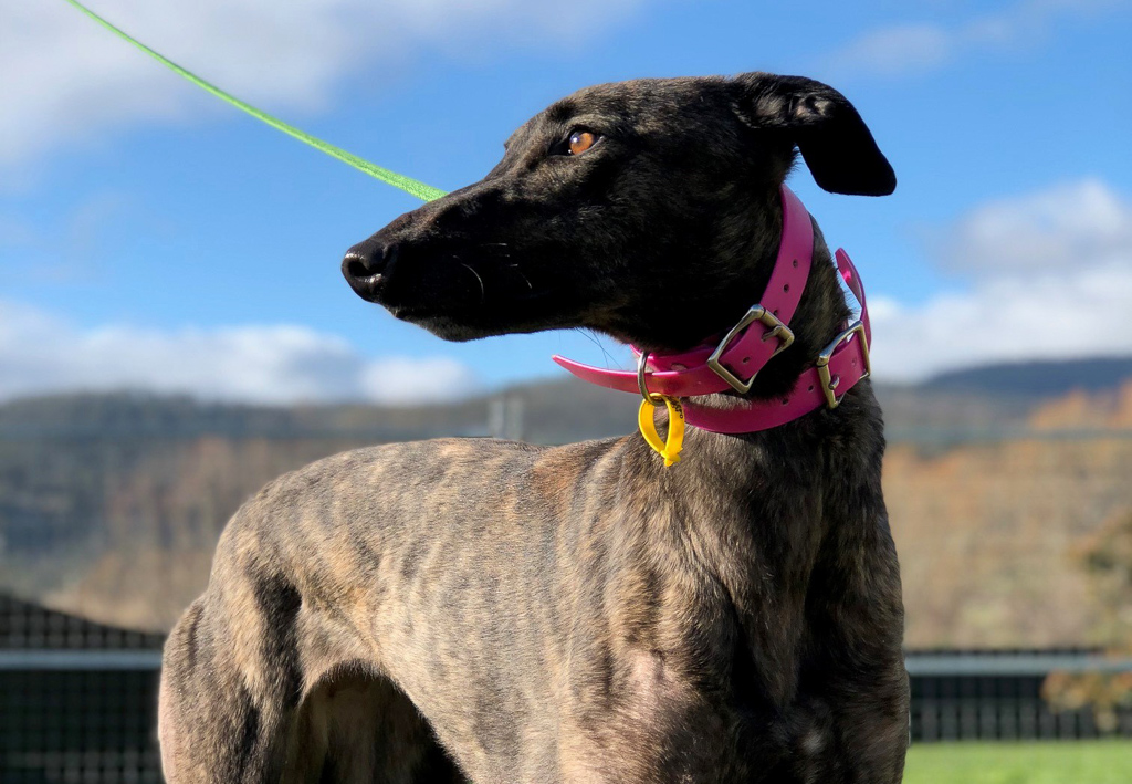 Muzzle-free future for accredited greyhounds